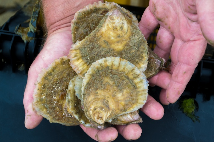 Pukka Jersey oysters available for first time in 120 years.