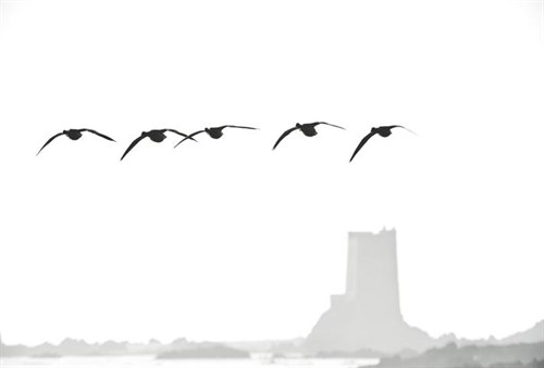 Brent Geese Near Seymour Tower by Kevin Brace