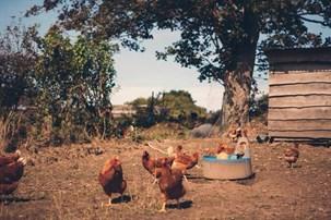Fungi Delecti _Free Rang Chickens (2)